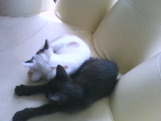 Gato   猫 māo